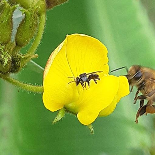 bee-pidgeon-pea-flower